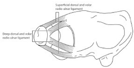 Radioulnar Ligaments (RUL)
