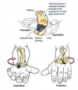 Supination & Pronation at the DRUJ